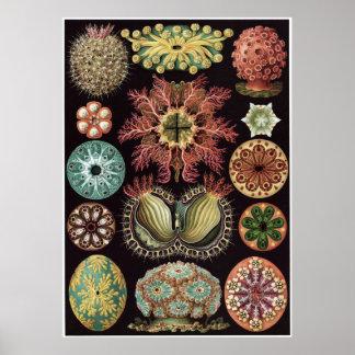 Impresión del arte de Ernst Haeckel: Ascidiae Póster