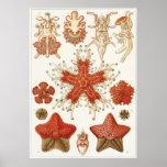 Impresión del arte de Ernst Haeckel: Asteridea Poster