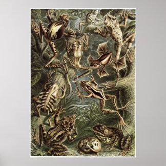 Impresión del arte de Ernst Haeckel: Batrachia Posters