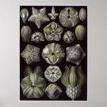 Impresión del arte de Ernst Haeckel: Blastoidea