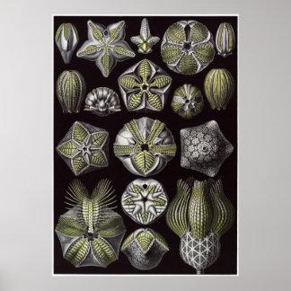 Impresión del arte de Ernst Haeckel: Blastoidea Poster