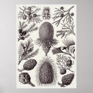 Impresión del arte de Ernst Haeckel: Coniferae Póster