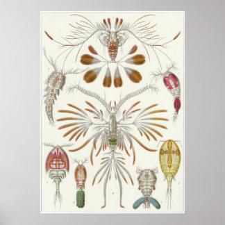 Impresión del arte de Ernst Haeckel: Copepoda Póster
