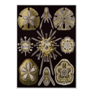 Impresión del arte de Ernst Haeckel: Echinidea Póster