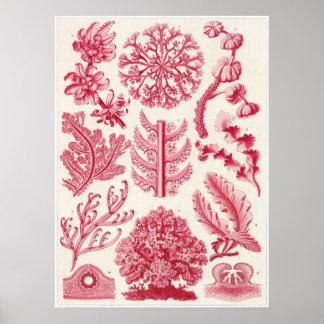 Impresión del arte de Ernst Haeckel: Florideae Impresiones