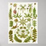 Impresión del arte de Ernst Haeckel: Hepáticas Posters