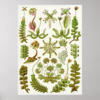 Impresión del arte de Ernst Haeckel: Hepáticas Póster
