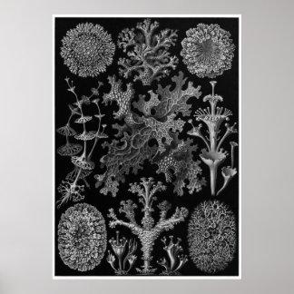 Impresión del arte de Ernst Haeckel: Lichenes Póster