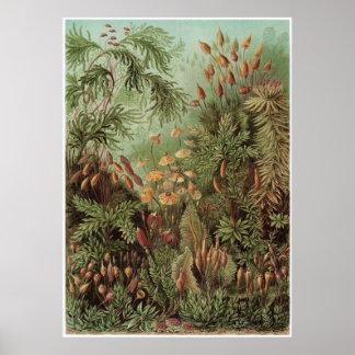Impresión del arte de Ernst Haeckel: Muscinae Póster