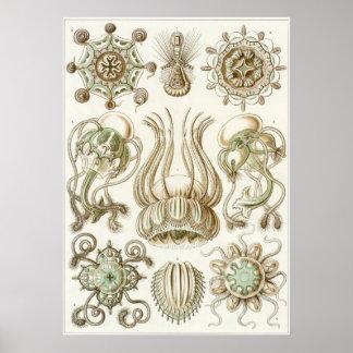 Impresión del arte de Ernst Haeckel: Narcomedusae Póster