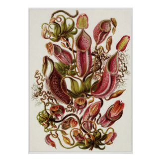 Impresión del arte de Ernst Haeckel: Nepenthaceae Póster