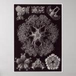 Impresión del arte de Ernst Haeckel: Ophiodea