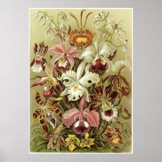 Impresión del arte de Ernst Haeckel: Orchidae Póster