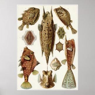 Impresión del arte de Ernst Haeckel: Ostraciontes Póster