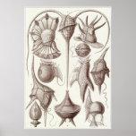 Impresión del arte de Ernst Haeckel: Peridinea Póster