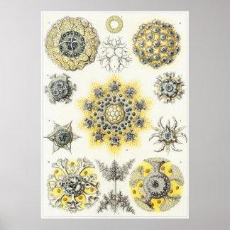 Impresión del arte de Ernst Haeckel: Polycyttaria Posters