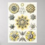 Impresión del arte de Ernst Haeckel: Polycyttaria Póster