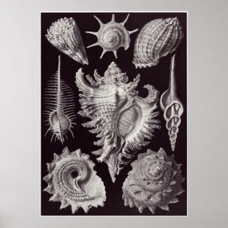 Impresión del arte de Ernst Haeckel: Prosobranchia Póster