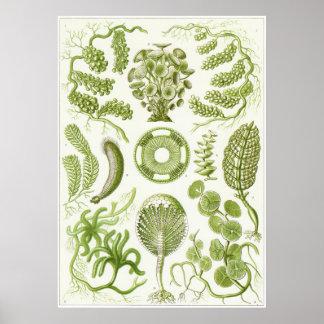 Impresión del arte de Ernst Haeckel: Siphoneae Póster
