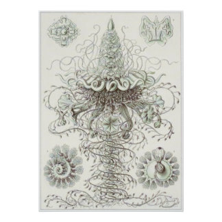 Impresión del arte de Ernst Haeckel: Siphonophorae Poster