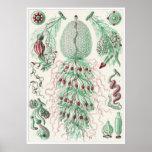 Impresión del arte de Ernst Haeckel: Siphonophorae Posters