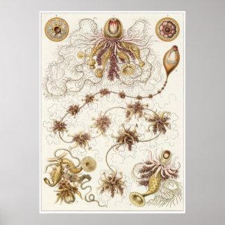 Impresión del arte de Ernst Haeckel: Siphonophorae Póster