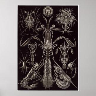 Impresión del arte de Ernst Haeckel: Thoracostraca Póster