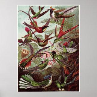 Impresión del arte de Ernst Haeckel: Trochilidae Poster