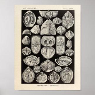 Impresión del arte de Spirobranchia Ernst Haeckel