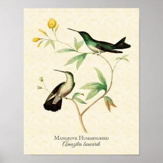 Impresión del arte del colibrí del mangle póster