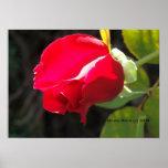 Impresión del brote del rosa rojo - seleccione su  posters