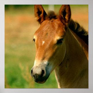 Impresión del caballo de la potra póster