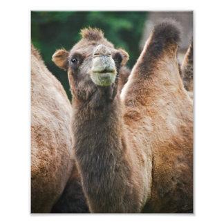 Impresión del camello bactriano fotografía