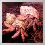 Impresión del cangrejo de ermitaño posters