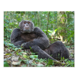 Impresión del chimpancé de Kibale, donación de la Fotografías