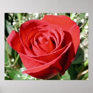Impresión del cierre del rosa rojo posters