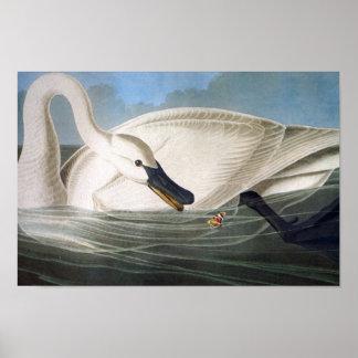 Impresión del cisne de trompetista de Audubon