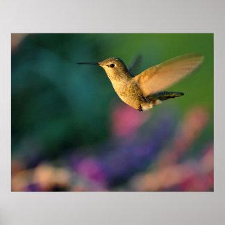 Impresión del colibrí de Jack London Ana femenino Póster