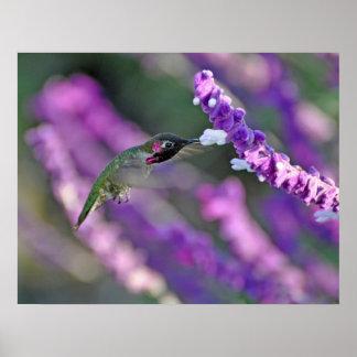 Impresión del colibrí de Jack London Ana masculino Póster