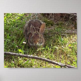 Impresión del conejo de conejo de rabo blanco poster
