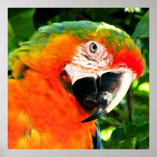 Impresión del cuadrado del Macaw del escarlata Impresiones