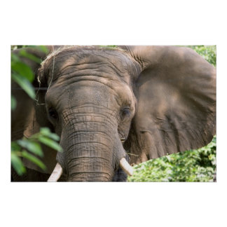 Impresión del elefante póster