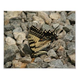 Impresión del este de la foto de Swallowtail del Cojinete