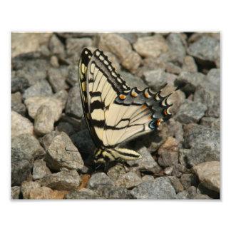 Impresión del este de la foto de Swallowtail del Fotografías