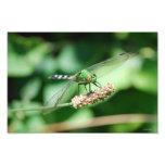 Impresión del este de la libélula de Pondhawk Arte Fotográfico
