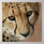 Impresión del gato del guepardo impresiones