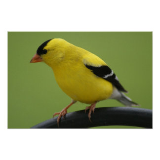 Impresión del Goldfinch Póster