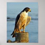 Impresión del halcón de peregrino impresiones