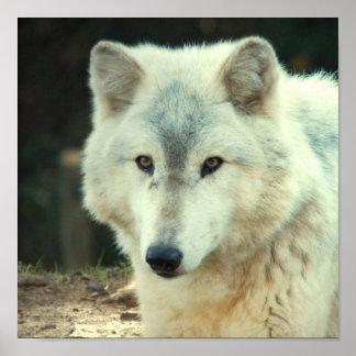 Impresión del lobo gris poster
