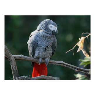 Impresión del loro del gris africano impresiones